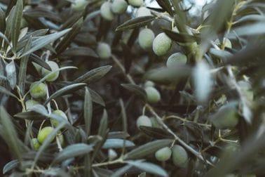 Sektor maslinarstva