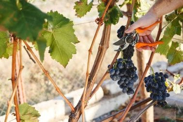 Upis u vinogradarski registar