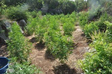 marihuana, podgorica